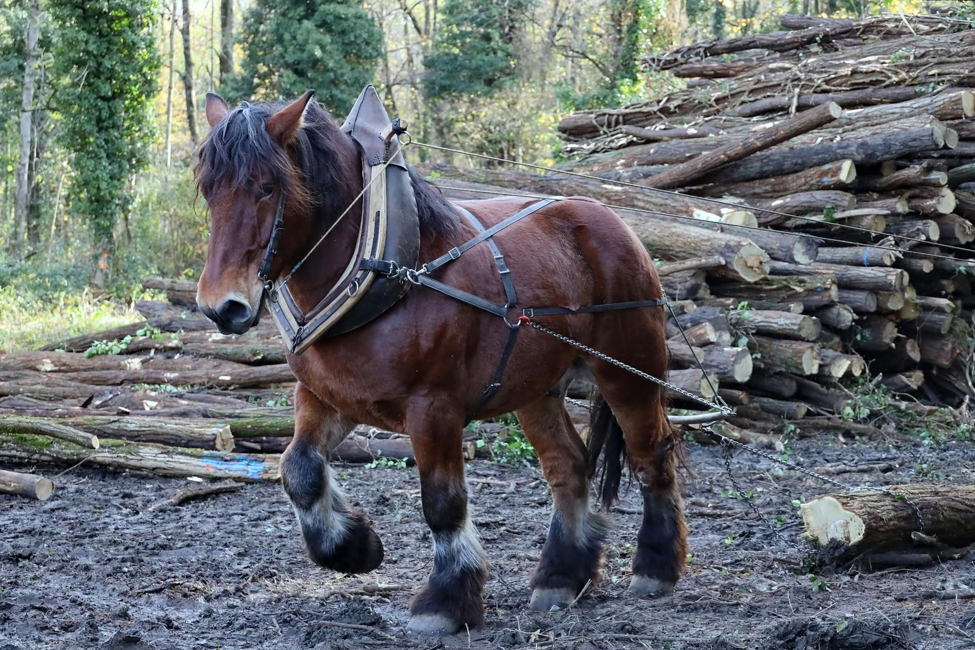 Cheval de trait dans le bois de Gelinot